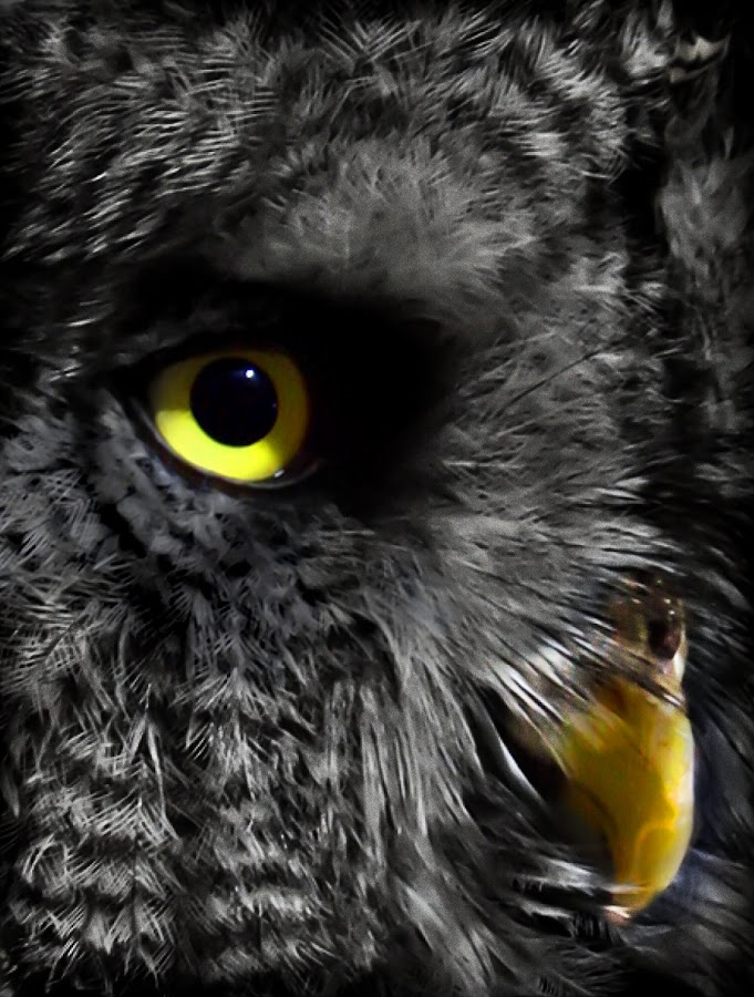 Yellow Owl by Sheila Marques - Animals Birds (  )