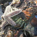 common sea star
