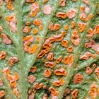 Orange Rust Fungus