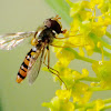 Marmalade hoverfly, Mosca cernidora