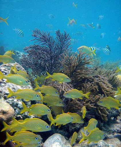 French grunts (we identify!) on a coral reef in the US Virgin Islands.