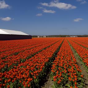 Tulip 4 by BertJan Niezing - Flowers Flower Gardens ( tulip field, tulip, holland, summer, sun )