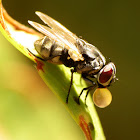 Stable Fly (blowing bubbles)