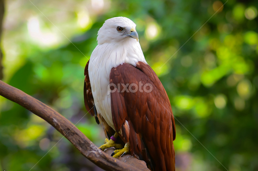 The Eagle by Adin S - Novices Only Wildlife ( eagle )
