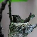 Annas Humming Bird
