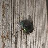 Common Greenbottle