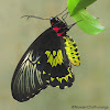 Sri Lankan Birdwing