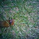 brown slug
