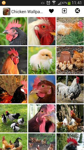 Chicken Wallpapers