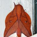 Boisduval's Horned Devil