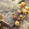 yellow-fuzz cone slime Mold - (nl-Doorschijnend langdraadwatje)