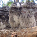Tawney frogmouth owls