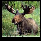 Moose Call icon