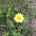 Texas False dandelion