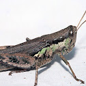 Melanoplus differentialis