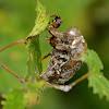Cicada (Exuviae)