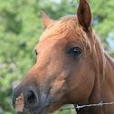 Horse (Quarter-Horse Mix)