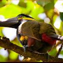 Yellow eared toucanet