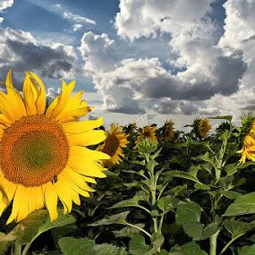 Sun Flower by Alin Dobrin - Flowers Flowers in the Wild ( clouds, field, sunset, sun flower, storm clouds,  )