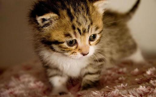 새끼 고양이 - 퍼즐