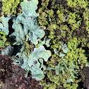 wax paper lichen