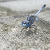 Ground Skimmer (male)