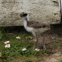 Spur-winged Plover (Chick)