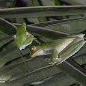 Malabar gliding frog or Malabar flying frog