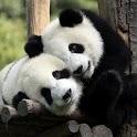 kids puzzles: panda FREE icon