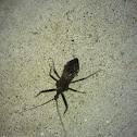 Stink bug or assisan bug?