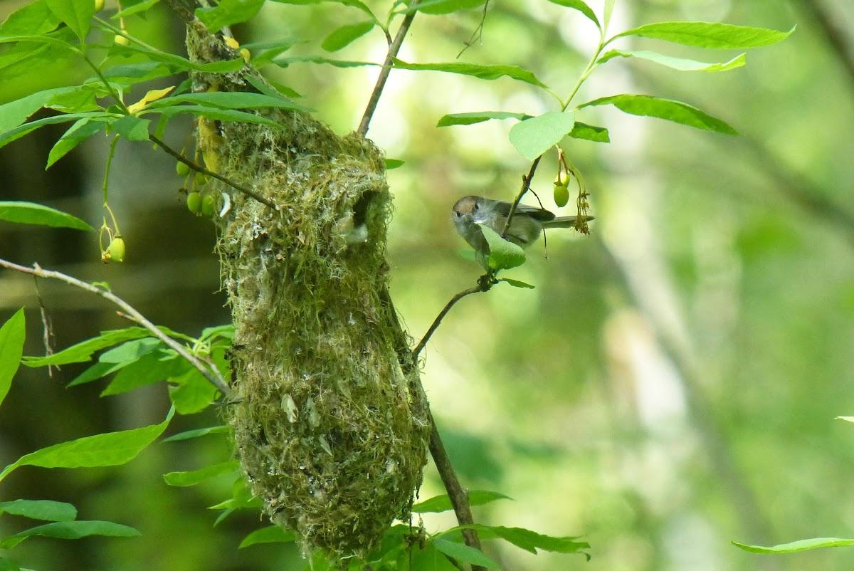 Bushtit - nesting