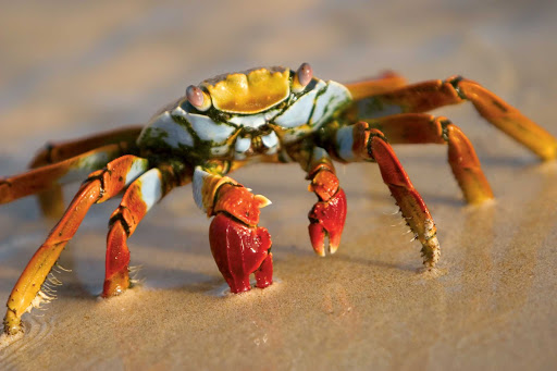 Lindblad-Expeditions-Galapagos-Sally-Lightfoot-crab - You'll likely spot the remarkably colorful Sally Lightfoot Crab — also known as the Nimble Spray, Short or Urchin Crab — during your sailing to the Galápagos Islands on a Lindblad Expedition.