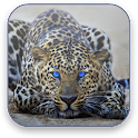 Leopard Free Video Wallpaper icon