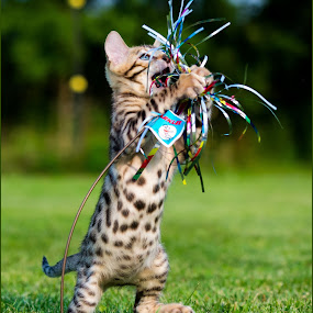 I got it! by Rob Ebersole - Animals - Cats Playing ( bengal kitten, maplewood bengals )