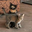 Domestic X Wild Cat kitten