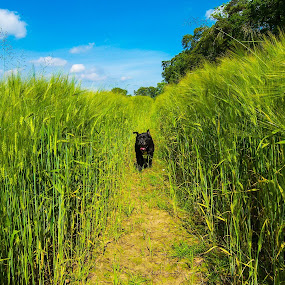 We exited our off road Tomb Raider adventure in a wheat field, took ages to find the way out lol! by Lyndsay Hepburn - Animals - Dogs Playing ( , renewal, green, trees, forests, nature, natural, scenic, relaxing, meditation, the mood factory, mood, emotions, jade, revive, inspirational, earthly )