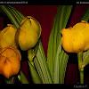 Cradle or Tulip Orchid - Clowes Anguloa
