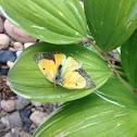 Sleepy Orange Butterfly