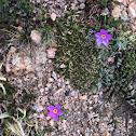Alpine Primrose