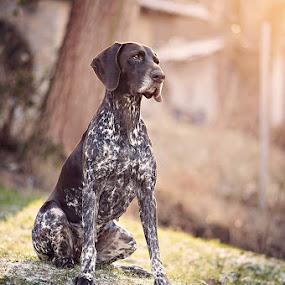 Cambria - GSP by Hanna Králíková - Animals - Dogs Portraits
