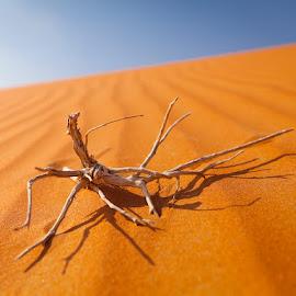 Encounter in the desert by Viktoryia Vinnikava - Nature Up Close Sand ( sand, orange, dry, desert, warm, 2014, shadow, uae, lines, horison, abu dhabi,  )