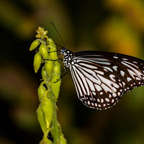 colors with black and white...glassy tiger by Kiran Ark - Animals Insects & Spiders ( calm, butterfly, color, india, photography )
