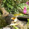 saltador de garganta canela / Buff-throated Saltator