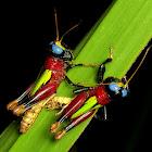 Blue-eyed Grasshopper