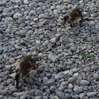 Mallard ducklings juvenile