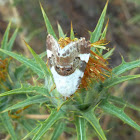 Pale Shoulder Moth / Malveneule