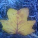 central park leaf collection