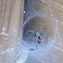 Male funnel web spider