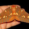 Royal Walnut moth, female
