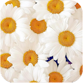 Beautiful Flower Daisy LWP